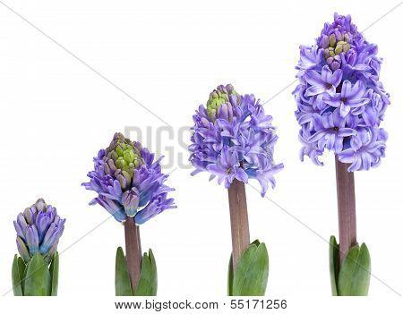 Opening Blue Hyacinth