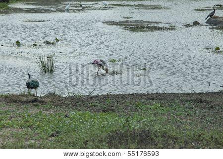 Painted Storks At Yala Np