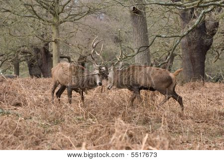 Red Deer Stags Rutting & Butting