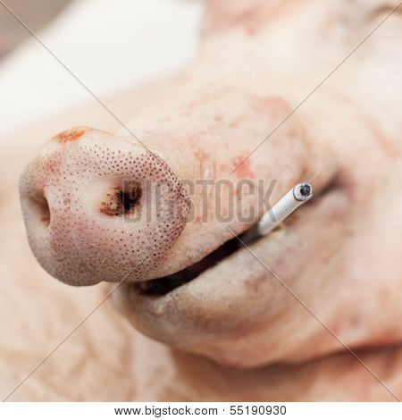 A Head of a Pig with a Cigarette 'Smoking Kills' Concept copy space for your text square poster
