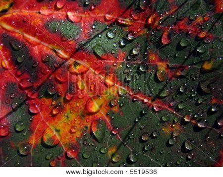 Autumn Asp Leaf After Rain