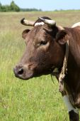 Grazing cow at the meadow. Summer day at the pasture poster