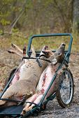 Killed deer on the cart harvested by hunters poster