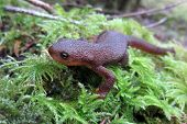 A Rough-skinned Newt crawling on moss in Oregon poster