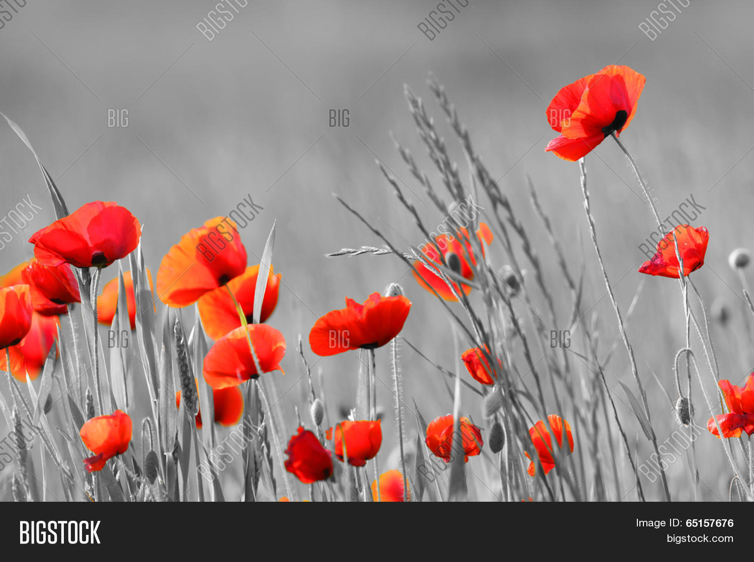 Red Poppy Flowers Image Photo Free Trial Bigstock
