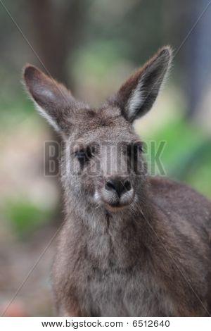 Swamp Wallaby Close Up