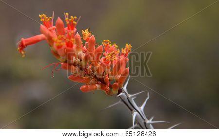 Ocotillo cactus blossom.