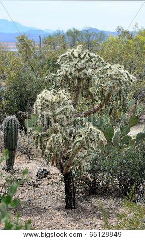 Teddy Bear or Cholla Cactus