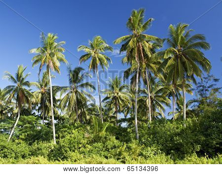 Coconut trees, Sematan Beach