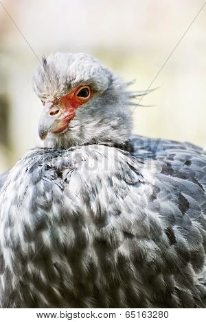 Southern Screamer (chauna Torquata)