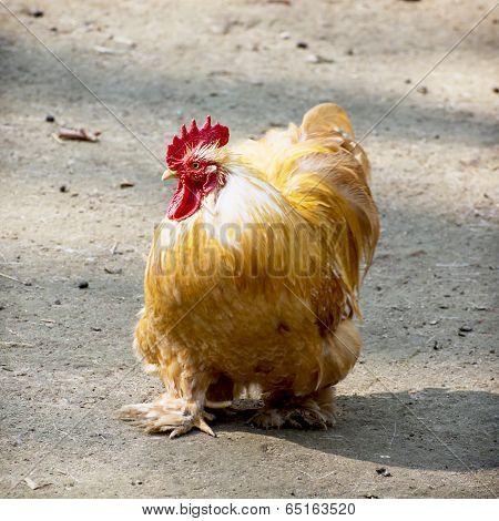Domestic Fowl  (gallus Gallus Domesticus)