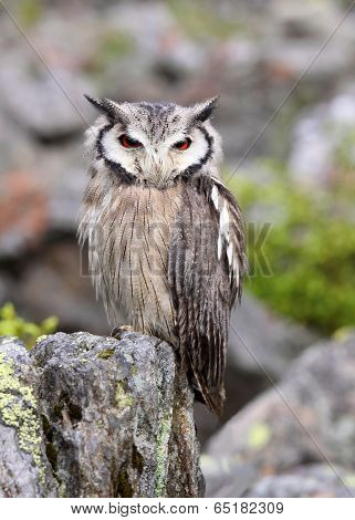 Ptilopsis granti nocturnal owl from South Africa Southern White-faced Scops Owl Ptilopsis granti from South Africa poster