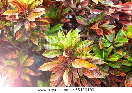Beautiful Plant With Leaves Of Different Colors.
