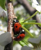 Ladybirds are engaged very much in an important poster