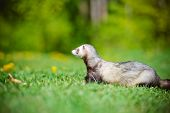 adorable ferret pet walking outdoors in summer poster