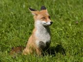 Wild red fox in Pieniny National Park poster