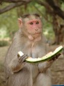 Monkey eating a water mellon in Lalbagh Botaniucal Garden, in Bangalore, India poster