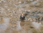 Mudskipper amphibious fish on mud bank of creek off River Gambia poster