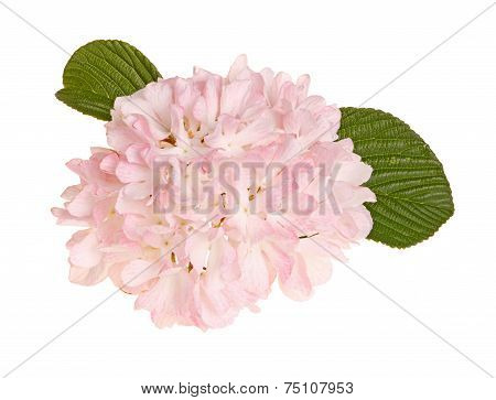 Flower Of A Snowball Viburnum Isolated Against White