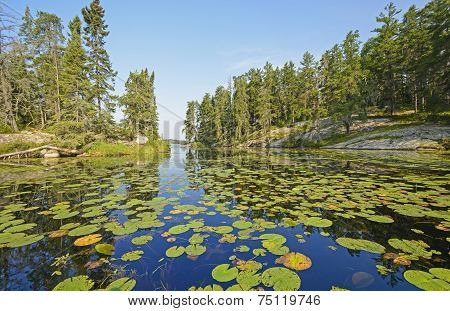 Lily Pads In A North Woods Lake