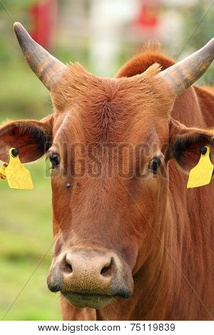 Curious Zebu Portrait
