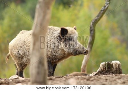 Wild Boar Standing On Clearing