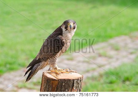 Tamed and trained for hunting fastest bird predator falcon or hawk perched on stump and staring into the camera lens poster