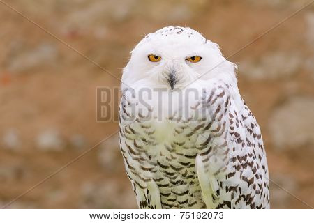 Portrait of wild silent raptor bird white snowy owl gazing at the camera lens with yellow eyes poster