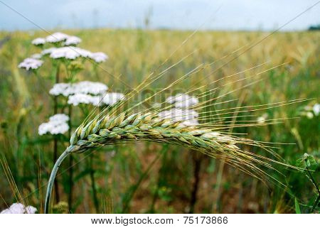 Rye Field In Backgroud Of Pecker