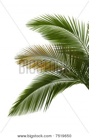 Leaves Of Palm
