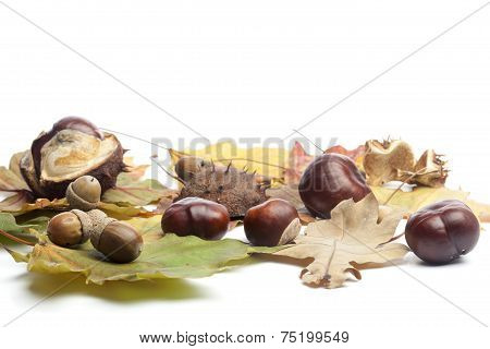 Chestnuts, Acorns And Fall Leaves