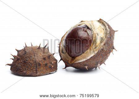 Conker Or Horse Chestnut In Capsule