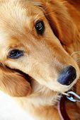 golden retriever young dog portrait diagonal closeup poster