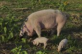 Biological sow and her piglets eat the fresh grass in a meadow. poster
