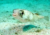 A Small puffer fish  poster