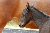 closeup portrait of a young foal sleeping next to mare poster