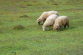 three sheeps grazing in Vermosh, Albania poster