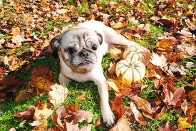 A Blind Pug Enjoying The Fall Sunny Weather