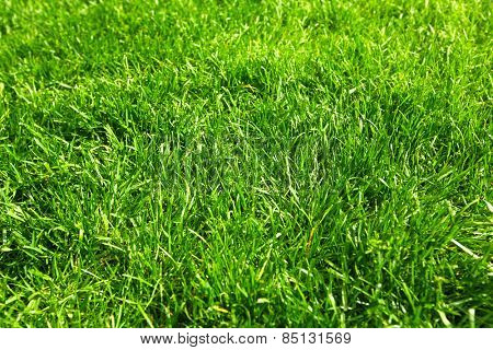 Beautiful  fresh green grass in the garden.