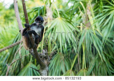 Spider monkey on a tree