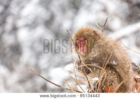 Japanese Snow Monkey at Jigokudani  Yudanaka Nagano Japan
