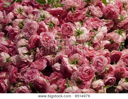 Rose Flower Background
