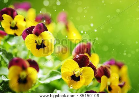 Pansy flowers with water droplet