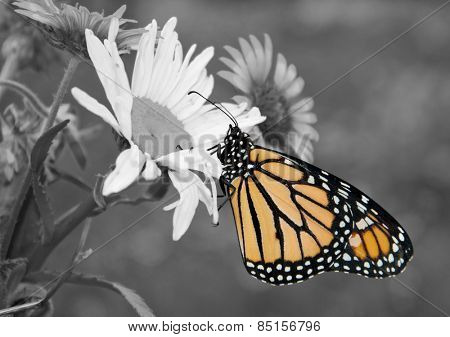 Male Monarch butterfly in summer garden; color spot on black and white