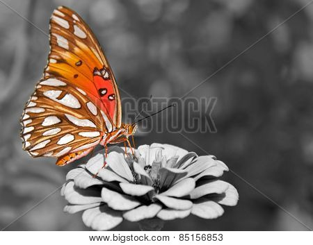 Ventral view of a Gulf Fritillary butterfly feeding on a Zinnia; color spot on black and white