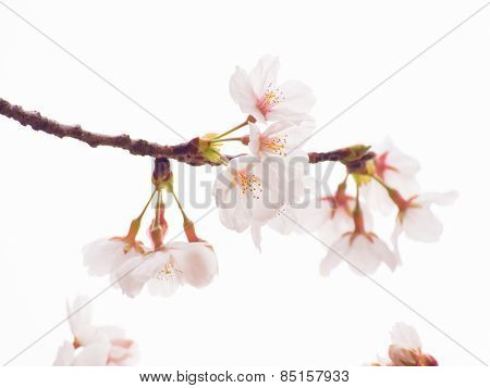 Close up of Yoshino cherry blossoms in the sky background