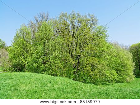 Big deciduous tree on green grass meadow