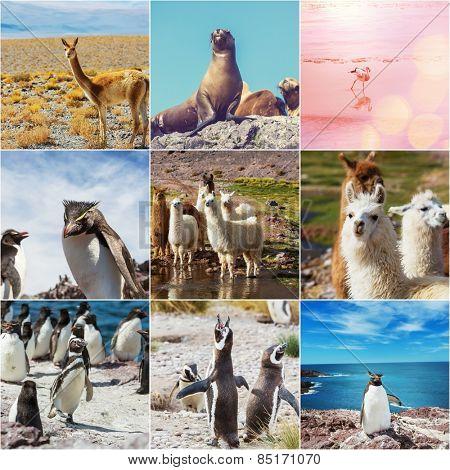 Argentina animals collage