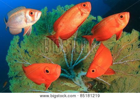 School Crescent-tail Bigeye fish and coral reef