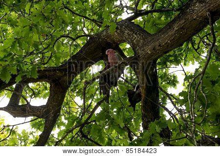 Pink Cockatoos Sitting On An Oak Tree In Yanchep National Park